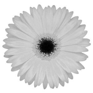 Hedera Helix 'Wonder' in HG-0815 Pot (Ø15cmxH13cm) - White