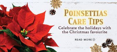 Xmas 2018 Poinsettia Care Tips